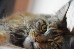 Cat Maine Coon med långa härliga tofsar på öronen Arkivfoto