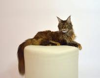 Cat Maine Coon mit langen schönen Quasten auf den Ohren Stockfotografie