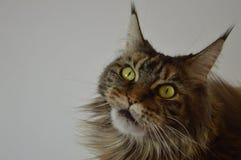 Cat Maine Coon mit langen schönen Quasten auf den Ohren Lizenzfreies Stockbild