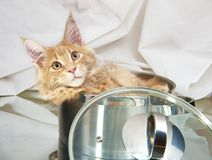 Cat Maine Coon in pan stock foto