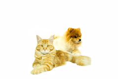 Cat Maine Coon with Pomeranian dog lying in  Royalty Free Stock Image