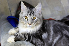 Cat Maine Coon stock image