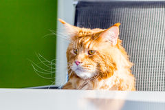 Cat Maine Coon sitting in the Office like a Boss. Horizontal View Stock Photos