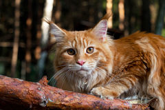 Cat Maine Coon in a tree Stock Image