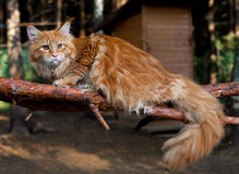 Cat Maine Coon in a tree Royalty Free Stock Photos