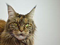Cat Maine Coon with long beautiful tassels on the. Cat Maine Coon on white background Royalty Free Stock Image