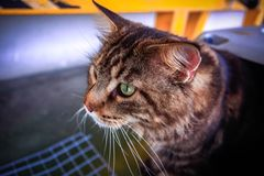 Cat Maine-Waschbär in einer Haustierfördermaschine Stockfotos