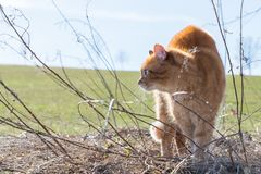 A cat makes a hump and feels threatened by a dog, Germany.  royalty free stock images