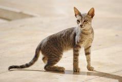 Cat, Mammal, Dragon Li, Small To Medium Sized Cats Royalty Free Stock Photography