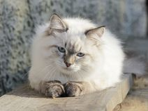 Cat, Mammal, Small To Medium Sized Cats, Cat Like Mammal Royalty Free Stock Photography