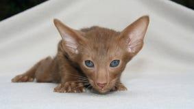 Cat, Mammal, Small To Medium Sized Cats, Cat Like Mammal royalty free stock photography
