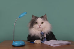 Cat manager in a suit sitting in the office Royalty Free Stock Photo