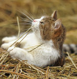 Cat in the Manger Stock Photography