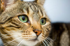 Cat Marco Royalty-vrije Stock Afbeelding