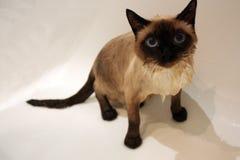 Cat Marseille Stock Image