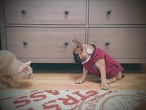 cat meets a bulldog stock image