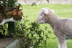 Cat meets a lamb. Newborn lamb nibbling on a plant with a cat watching what he's doing royalty free stock images