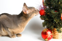 The cat meets New Year. In studio Royalty Free Stock Photo