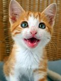 Cat Meow, bleu a observé Ginger Rescue Kitten photographie stock