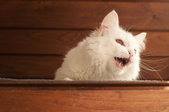 Cat meowing Royalty Free Stock Photos