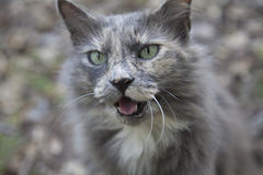 Cat Meowing. Gray outdoors cat meowing lovingly Royalty Free Stock Image