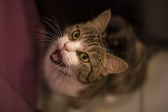 Cat meowing next to the door. Brown and white tabby cat meowing, head of the cat looking up, mewing and opening a mouth, natural background, horizontal shot royalty free stock image