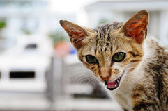 Cat Meowing. This is a stray cat who meowing and look at me when i took him Royalty Free Stock Image