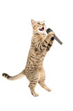 Cat with microphone. Cat Scottish Straight standing on hind legs with microphone, isolated on white background Stock Photography