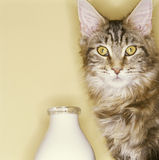 Cat and milk Royalty Free Stock Photography