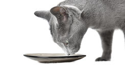 Cat and milk Stock Photography