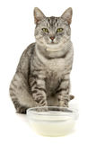 Cat milk Stock Photography