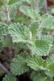 Cat Mint royaltyfri bild