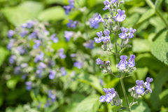 Cat mint flowers Stock Image