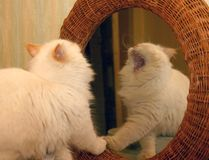 Cat Mirror Image. Yawning white longhair cat reflected in a mirror Royalty Free Stock Photo