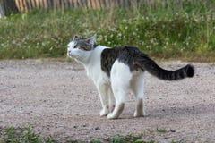Cat Misha Imagem de Stock
