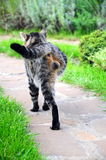 Cat with missing leg. A handicapped cat walking on path Royalty Free Stock Image
