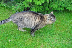 Cat with missing leg. A handicapped cat running on grass Stock Photo