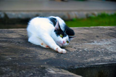 Cat. Moggy is pets animals Royalty Free Stock Photography