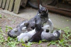 Cat Mom Finishes Nursing Imágenes de archivo libres de regalías