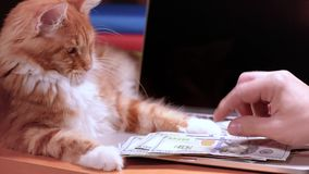 Cat and money with laptop. Cat and male hands counting US dollar banknotes at the table in front a laptop computer. Maine Coon kitten on workplace. Man with stock video