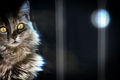 Cat in moonlight. A furry cat in front of a window in the moonlight royalty free stock image