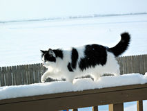 Cat on Morning Stroll. Beautiful fluffy black and white cat, out for a morning stroll. Good photo for winter cat calendar royalty free stock photography