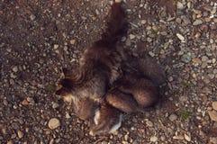 Cat Mother alimenta gatitos Fotografía de archivo