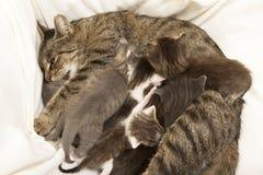 Cat Mother amamanta sus jóvenes Fotografía de archivo