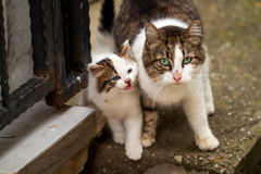Cat. Mother Cat and baby Cat Royalty Free Stock Photography