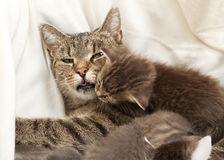 Cat mother with baby. A heap of cat is cuddly babies on their mother Stock Images