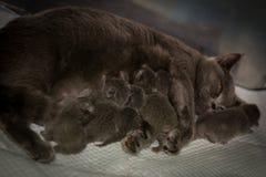 Cat Mother que alimenta sus gatitos imágenes de archivo libres de regalías