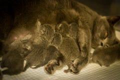 Cat Mother que alimenta sus gatitos fotos de archivo
