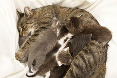 Cat mother suckles her young. A heap of cat is cuddly babies on their mother Stock Photography