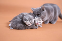 Cat mother watching her babies Royalty Free Stock Images